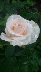 бледная роза
