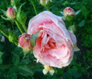 чашевидная роза