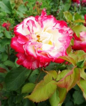 двуцветная роза